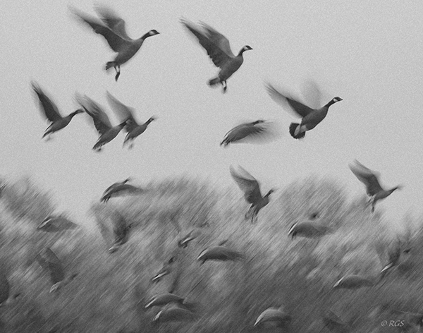 Black and white of Canadian geese in flight