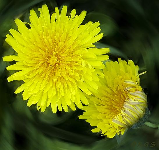 dandelion cropped
