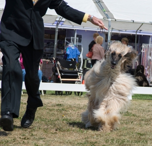 Afghan Oliver runs around the ring
