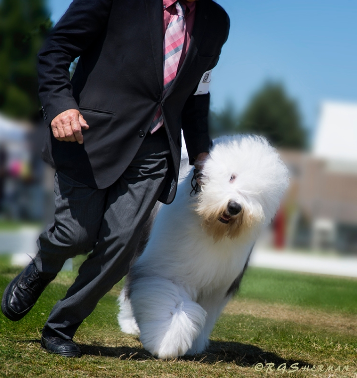 English Sheepdog with handler runs around show ring